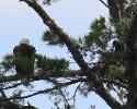 bird-eagle-baby-miramichi-june-26-2010-1