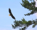 bird-eagle-miramichi-flight-june-26-2010-4