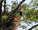 bird-eagle-miramichi-june-26-2010-26