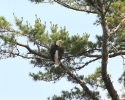 bird-eagle-miramichi-june-26-2010-45